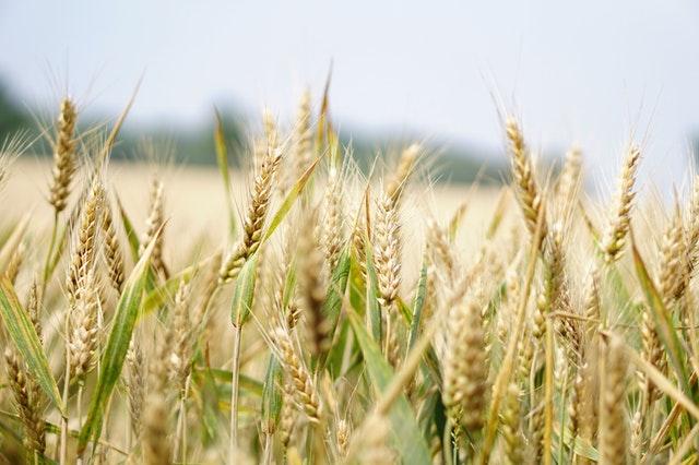 Pšenice rostoucí na poli